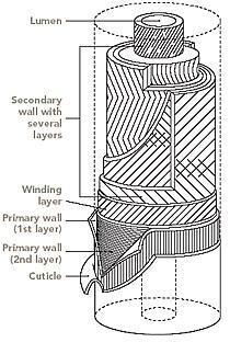 structure of cotton fiber  u2013 tex note